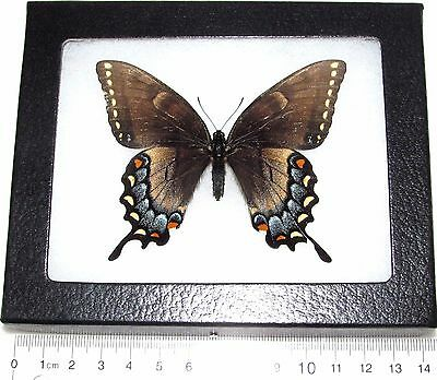 Real Framed Butterfly Papilio Glaucus Intermediate Form Rare Female