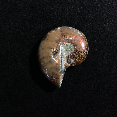 Opalized Iridescent Ammolite Ammonite 170482 Fossil Positive Protection