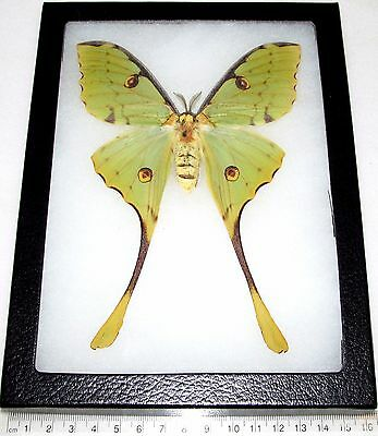 Real Framed Saturn Moth Saturniidae Argema Mimosae Huge Luna