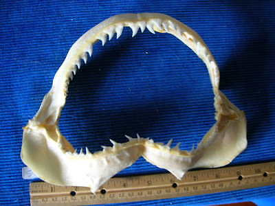 REAL Blue SHARK jaw sharks jaws teeth tooth skull skeleton fish mount taxidermy