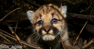 New Image of Baby Mountain Lion