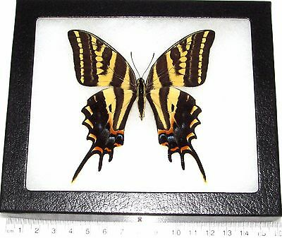 Real Framed Butterfly 3 Tailed Swallowtail Papilio Pilumnus Female