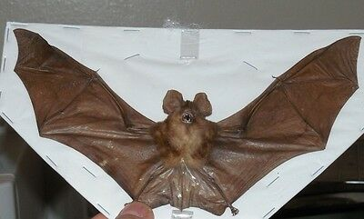 Rhinolophus Lepidus Brown Blyth's Horeshoe Spread Bat Indonesian Real Taxidermy