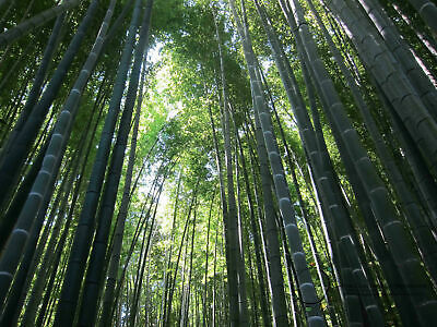 "1000 semi di Phyllostachis pubescens = moso bamboo,Bambos moosoo""Bambù gigante"""