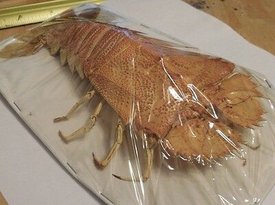 Huge Thenus Orientalis Flathead Lobster Real Indonesia Taxidermy