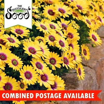 DAISY  - African (1000 Seeds) WINTER FLOWERING Long Bloomer BULK Easy Care Plant
