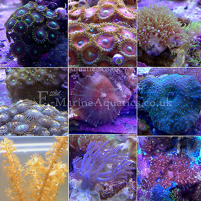 SOFT CORAL FRAG PACK / CORAL FRAGS for MARINE AQUARIUMS (WICKFORD, ESSEX)
