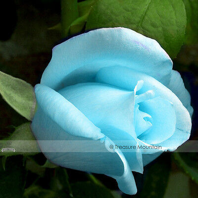 1 Professional Pack 50 seeds / pack Light Blue Rose Plant Seed