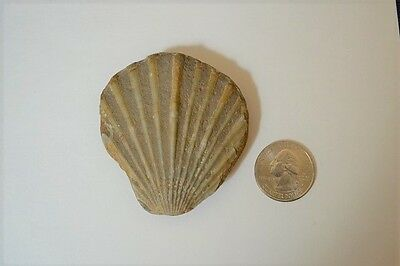 Nice FOSSIL CLAMSHELL Bivalve