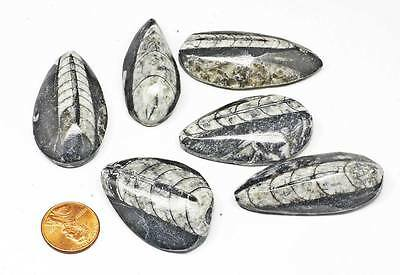 6 Orthercerous Fossil Cabs Wholesale lot