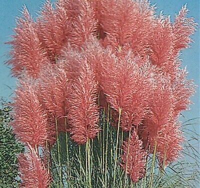 4  LARGE Pink pampas plug plants Cortaderia 'Pink Feathers' / Pampas Grass -