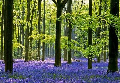 English Bluebell  - Fresh sustainable collected seeds- help save them! wildlife