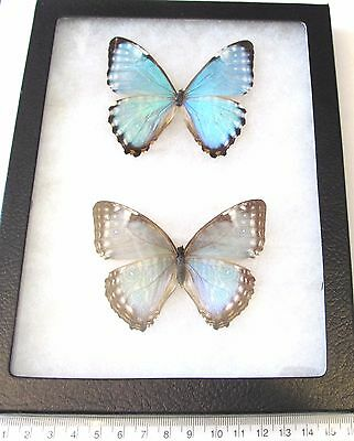 Real Framed Butterfly Blue Morpho Ports Pair Male Female