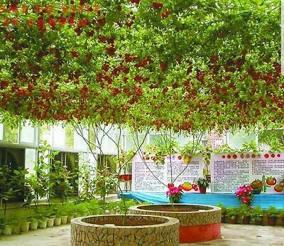 Tomato GIANT tree - Fresh seeds-lasts years!RARE! EASY TO GROW. fruit allotments