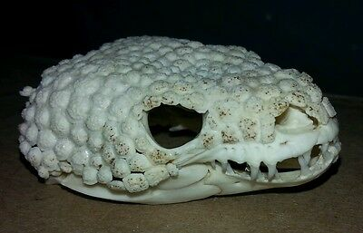 Gila monster skull and skin. Taxidermy skeleton rare real taxidermy