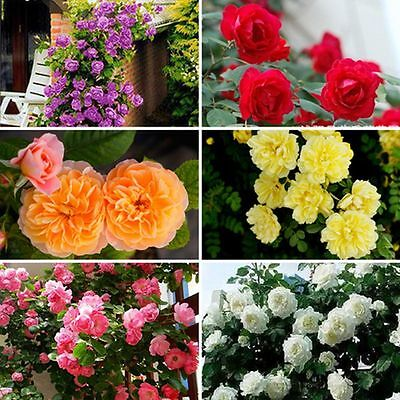 100PCS Climbing Rose Rosa Multiflora Fragrant Flower Seeds Home Perennial Decor