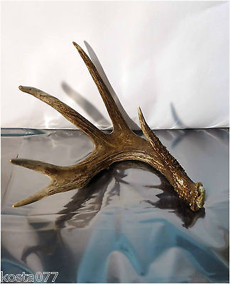 Large Whitetail Deer 5-Point Shed / ANTLER Horn Taxidermy Rack