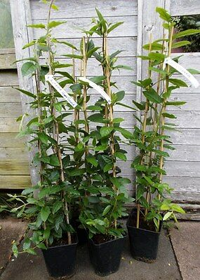 "1 x 3ft Lonicera ""Acuminata""evergreen honeysuckle 3ltr"