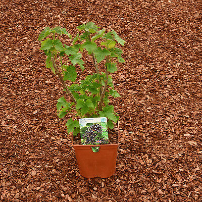 Black Red & White Currant Starter pack 1 of each in 3 litre pots, delivered FREE