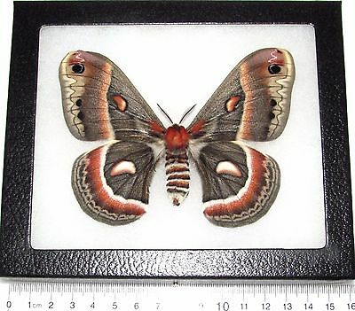 Real Framed Cecropia Moth Saturniidae Female Usa C2