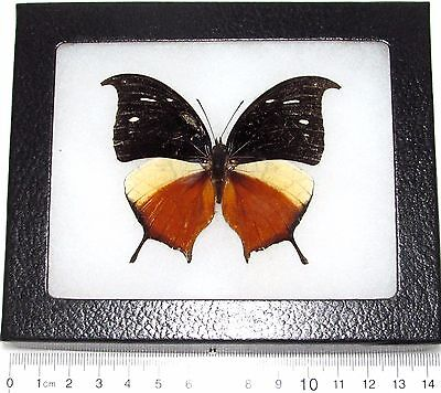 Real Framed Butterfly Consul Panariste Ssp Jansoni Leafwing Costa Rica Rare