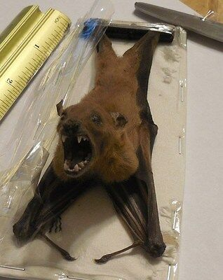 Cynopterus Minutus Hanging Back Real Bat Indonesia Taxidermy
