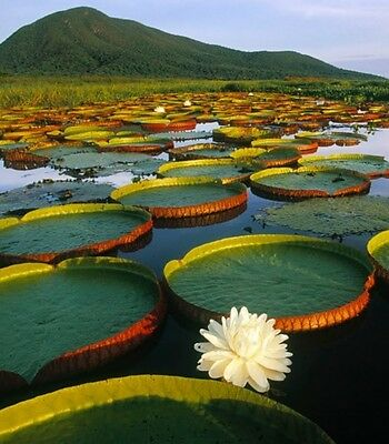 Worlds largest pond lily! leafs up to 2.5m! fresh seeds! Rare!! Amazon lily