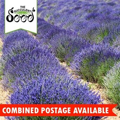 LAVENDER - English (500 Seeds) BULK Fragrant CONTAINER PLANT Beds & Borders