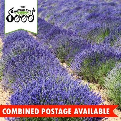 LAVENDER - True English (500 Seeds) Vera Lavender BULK Beds & Borders