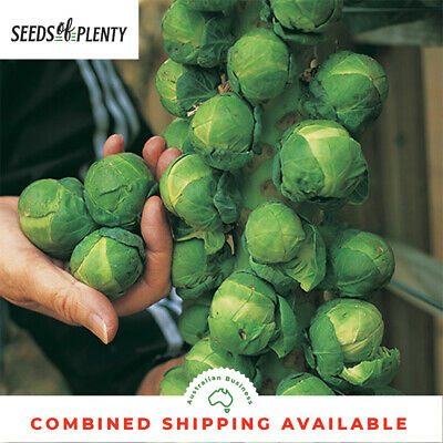 BRUSSELS SPROUTS - Long Island Improved (500 Seeds) COOL SEASON VEGETABLE Bulk