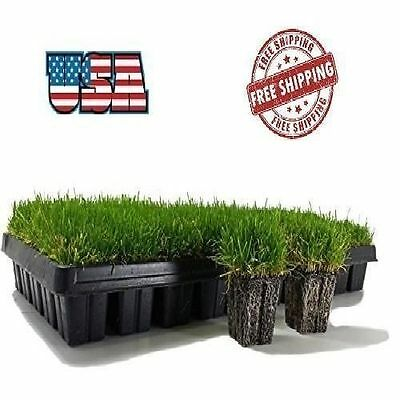 Zoysia 50 Plugs Trays Planting Indoor Outdoor Gardening Lawn Grass Yard Patio