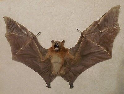Large Cynopterus Minutus Minute Fruit Real Bat Spread Wings Indonesia Taxidermy