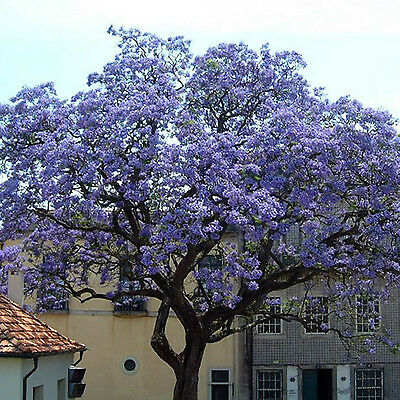 GOOD Worlds Fastest Growing 100X Seeds Paulownia Princess Tree Blue Flowers Yard