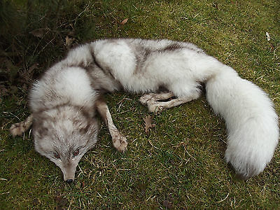 REAL white FOX FUR MOUNT TAXIDERMY