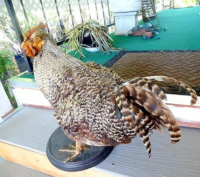 Vintage TAXIDERMY Chicken Gamebird Rooster Real Bird Country Decor Rustic Cabin