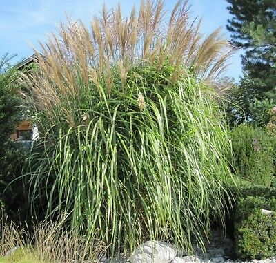 Giant Elephant grass!upto 18ft!like bamboo!easy to grow RARE exotic plant! seeds