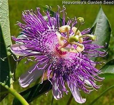 PASSION FLOWER ~*Passiflora*~ Perennial Seeds