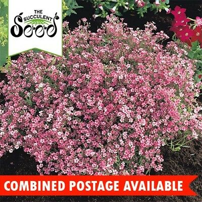 BABY'S BREATH - Deep Carmine (1500 Seeds) CUT FLOWERS Drought Tolerant BULK