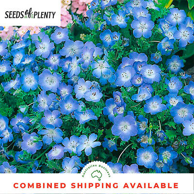 BABY BLUE EYES - (250 Seeds) LOW GROWING GROUND COVER Cottage Garden BULK
