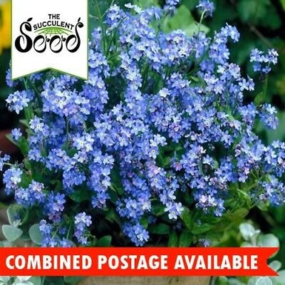 FORGET ME NOT - Traditional Blue (2500 Seeds) SELF SEEDING Cool Season BULK