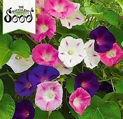 MORNING GLORY - Tall Mixed (60 Seeds) VINING & CLIMBING PLANT Heirloom BULK