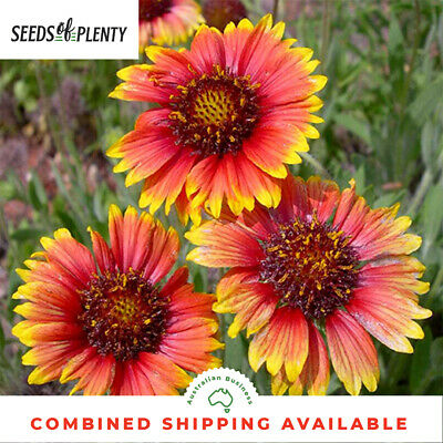 GAILLARDIA - Indian Blanket Flower (750 Seeds) DROUGHT TOLLERANT Big Blooms BULK