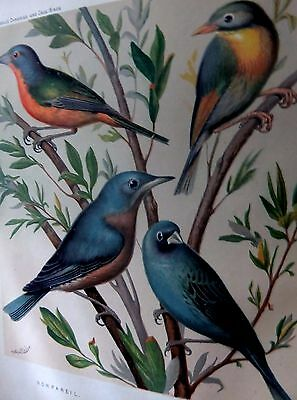1 litho from cassell's book of canaries & cage birds parrots 1s ed c1875