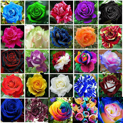Rare Rainbow Rose Tulip Flower Lily Bulbs Fruit Seeds Garden Plant Bonsai Decor