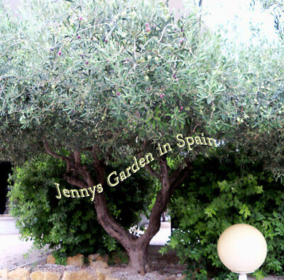 1 little Olive tree from our garden in Spain. Grown in the open air