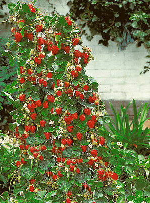 Red Climbing Strawberry Seeds - 20/50/100/200/300 Seeds - very big and delicious