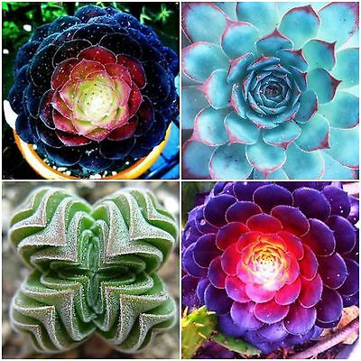 100 Mixed Echeveria Seeds Exotic Purple Blue Red Succulent Garden Plant Seed