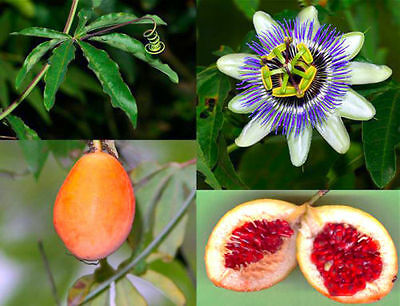 "Passiflora ""caerulea""(BLUE PASSION FLOWER)(10+ Seeds) Health Fruit, Exotic Plant"