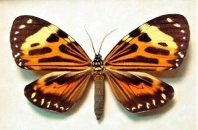 One Real Butterfly Day Flying Moth Red Orange Chetone Histrio Peru Wings Closed