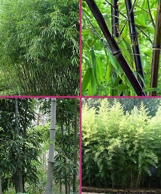 Forest Bamboo/ Bamboo/ Plant/ Canada